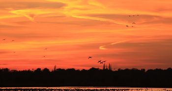 Wintergäste im Bargerveen - Gänse beim Sonnenuntergang im Naturpark