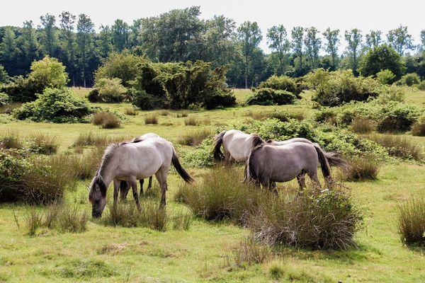 Pferde im Wacholderhain Haselünne